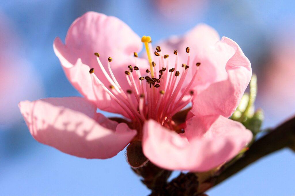 цветение персиковых садов в Aйтона